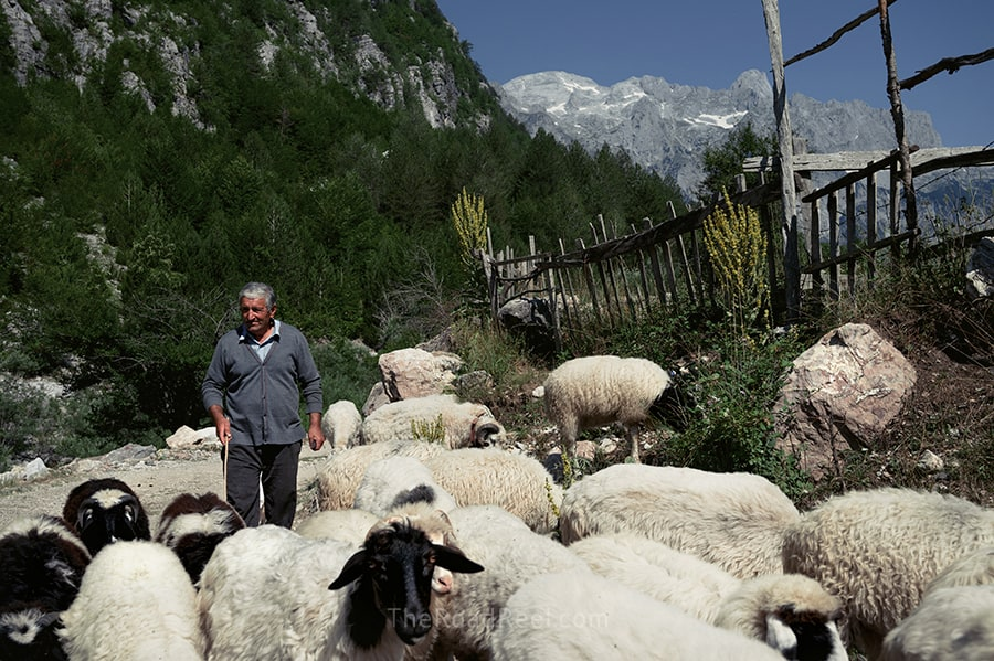 herdsman with sheep in theth albania